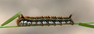 Raupe der Grasglucke - Lasiocampidae, Grasglucke, Nachtfalter, Schmetterling