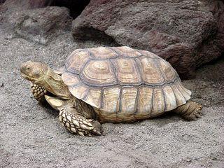 Spornschildkröte - Landschildkröte, Schildkröte, Panzer, Struktur, Spornschildkröte, Geochelone sulcata, Riesenschildkröte, Reptil, Afrika