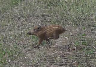 Frischling - Schweine, Paarhufer, Allesfresser, weltweit, Jagdwild, Frischlinge, Frischling, Wildschwein, Wildschweine