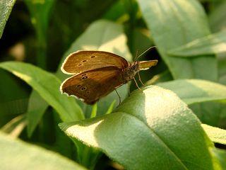 Schornsteinfeger #1 - Falter, Tagfalter, Schornsteinfeger, brauner Waldvogel, braun, Schmetterling, Symmetrie, Aphantopus hyperantus, Nymphalidae, Augenfalter