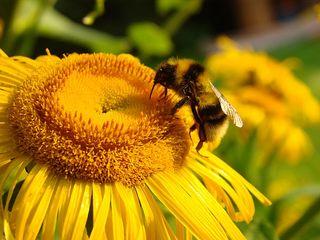 Hummel - Hummel, Insekt, Blüte, Nektar, saugen, fliegen, Bombus, Biene, Hautflügler, Stechimme, Wehrstachel