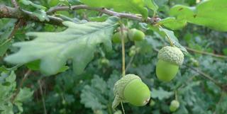 Eicheln - Eiche, Eichel, Laubbaum, Blatt, Frucht, Fruchtbecher