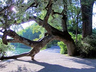 Baum - mal anders - Baum, Pappel, Holz, Gehölz, Laubbaum, krumm, schief, gebogen, Bogen, Torbogen, Stamm, Krone, Blätter, Äste, Ast