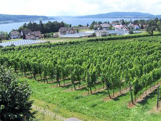 Weinanbau am Bodensee - Wein, Weinanbau, Weinreben, Weinstock, Weinberg, Pflanzen, Landwirtschaft, grün, Treibhäuser, Aussicht, Untersee, Bodensee, Reichenau, Natur