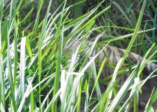 Getarnter Tiger - Tiger, Zoo, Tier, Wildtier, Katze, Raubkatze, Großkatze, Camouflage Tarnung