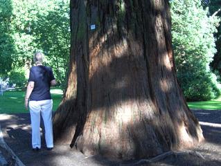 Stamm eines Mammutbaumes - Mammutbaum, Nadelbaum, Sequoia, Stamm, Rinde, dick, Holz, Gehölz, Baum, alt, riesig, Nadelbaum
