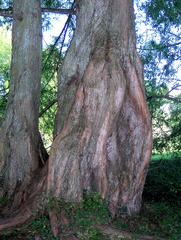 Stamm eines Mammutbaumes - Mammutbaum, Nadelbaum, Sequoia, Stamm, Rinde, dick, Holz, Gehölz, Baum, Borke