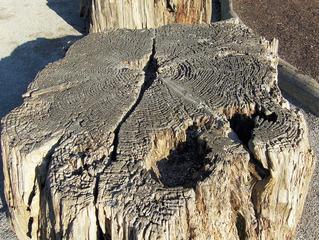 Baumstumpf - Baumstumpf, Baum, Holz, Gehölz, alt, Jahresringe, Mammutbaum, Sequoia, morsch, Rinde, Stamm