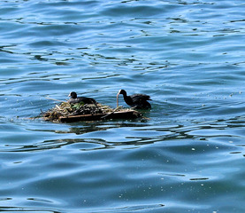 Blässhuhn #3 - Blässhuhn, Blesshuhn, Ralle, Nest, Nestbau, brüten, Brutpflege, Vogel, Wasser, Wasservogel, schwimmen