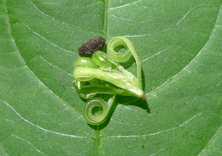 Kleinblütiges Springkraut - offene Samenkapsel mit Samen - Springkraut, Balsaminengewächs, kleines Springkraut, Impatiens parviflora, Kleinblütiges Springkraut, Sibirisches Springkraut, Samen, Samenkapsel, aufgsprungen