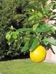 Zitrone, Citrone  - Zitrone, Zitrusfrucht, Citrone, Zitruspflanze, Frucht, sauer, Blüte, Knospe, weiß, gelb, orange, Blätter, Laub, Vitamin C, gesund, Ernährung