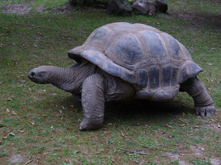 Riesenschildkröte - Zoo, Riesenschildkröte, Landschildkröte, Schildkröte, alt, Zeit, Steppenschildkröte, Vierzehenschildkröte, Reptil, Panzer, Schuppen, Winterruhe, langsam, Keratin, bedroht, Schildpatt, Artenschutz, Washingtoner Abkommen