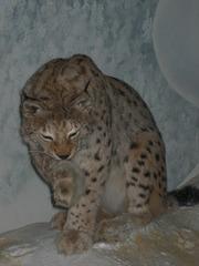 Luchs - Luchs, Tier, Raubtier, Nordeuropa, Jäger