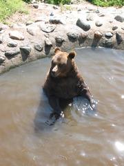 Braunbär - baden, Sommer, Bär, Braunbär, Zoo, Tierpark, Natur, Tier, Wildtier