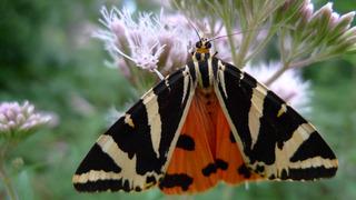 Russischer  Bär - Brauner Bär, Schmetterling, Nachtfalter, Bärenspinner, Falter, Euplagia quadripunctaria, Spanische Flagge