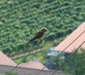 Falke - Falke, Raubvogel, Sakerfalke, Greifvogel