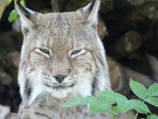 Luchs - Luchs, Raubkatze, Tierportrait, Zoo