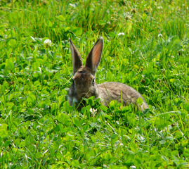 Nagetier - Kaninchen, Hase, Osterhase, Frühling, Wiese, Ohren, Nagetier