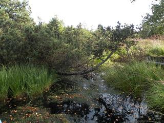 Moor - Moor, Landschaft, Vegetation, Hochmoor, Moos, Lebensraum