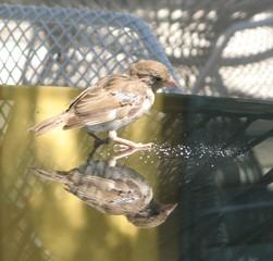 Frecher Spatz #3 - Sperling, Spatz, Singvögel, Vogel, zutraulich, neugierig, hungrig, Schreibanlass, Spiegelung, Spiegelbild