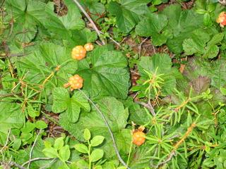 Moltebeeren - Beere, orange, Moltebeere, Multebeere, Multbeere, Schellbeere, Torfbeere, Nahrungsmittel, Vitamine, Heilpflanze, Rubus, Rosengewächs