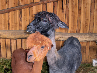 Lamas im Zoo #1 - Lama, Kamel, Säugetier, zwei, Anden, Südamerika, spucken, Fell, geschoren, braun, schwarz, Haustier