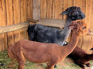 Lama im Zoo #2 - Lama, Kamel, Säugetier, Haustier, Anden, Südamerika, braun, schwarz, geschoren, spucken, drei, Fell