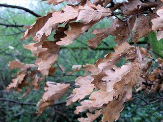 Eichenlaub - Eichenlaub, Eiche, Blätter, Laub, Baum, Gehölz, trocken, vertrocknet, Winter, braun