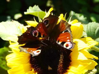 Tagpfauenauge - Tagpfauenauge, Schmetterling, Sonnenblume, nymphalis