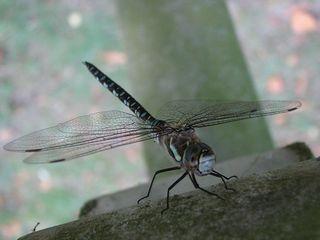 Libelle # 3 - Libelle, Mosaikjungfer, Insekt, Gliederfüßer, Facettenauge, Flügel, Körper, fliegen, schweben, zart