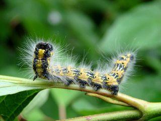 Raupe #2 - Raupe, Kleiner Fuchs, Falter, Schmetterling, Edelfalter, Insekt