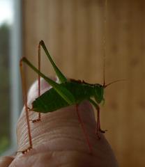 Heupferdchen - Insekt, Heupferd, Nahaufnahme, Heuschrecke, Tettigoniidae, Tracheentier, grün, Grashüpfer