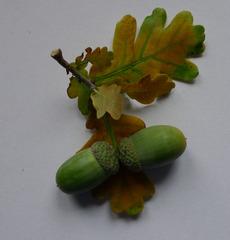 Frucht der Eiche - Blatt, Frucht, Eiche, Stieleiche, Herbst, gebuchtet, Eichel, Hut, braun, grün, Laubbaum, Wald, gelappt, einhäusig