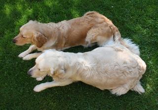 Golden Retriever #1 - Hund, Hündin, trächtig, Trächtigkeit, Säugetier, Haustier, Retriever, Jagdhund, Hunderasse, Begleithund