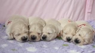 Golden Retriever Welpen #4 - Welpe, Hund, Haustier, fünf, Jagdhund, Hunderasse, Begleithund