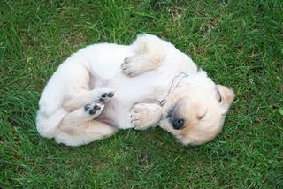 Golden Retriever Welpen #10 - Hund, Welpe, schlafen, Jagdhund, Hunderasse, Begleithund