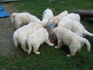 Golden Retriever Welpen #11 - Welpe, Hund, Haustier, füttern, acht, Futternapf, fressen, Jagdhund, Hunderasse, Begleithund