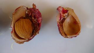 Pfirsichkern - Pfirsich, Pfirsichkern, Steinobst, Obst, Kern, Samen