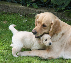 Golden Retriever Welpen #12 - Welpe, Hund, Haustier, Jagdhund, Hunderasse, Begleithund