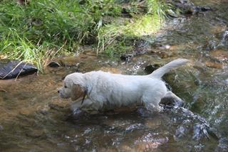 Golden Retriever  Welpen #16 - Welpe, Hund, Haustier, Jagdhund, Hunderasse, Begleithund, Bach