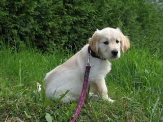 Golden Retriever Welpe #18 - Welpe, Hund, Haustier, Jagdhund, Hunderasse, Begleithund