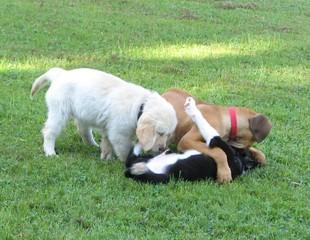 Golden Retriever Welpe #20 - Welpe, Hund, Haustier, Jagdhund, Hunderasse, Begleithund, spielen, drei