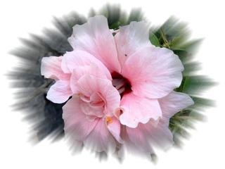 Hibiskus - Hibiskus, Blume, Blumengruß, Geburtstag, email, Effektbild, Grußkarte