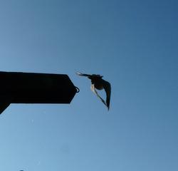 auffliegende Taube - Taube, Vogel, Start, Aerodynamik, Flug, Vogelflug