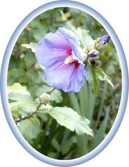 Hibiskus - Hibiskus, Sommer, Blume, Blüte, Geburtstag, email, Gruß, Effektbild, Grußkarte