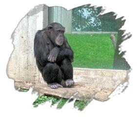 Schimpanse - Schimpanse, Affe, Mittagsruhe, Geburtstag, email, Gruß, Effektbild, Grußkarte