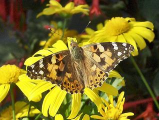 Distelfalter #1 - Distelfalter, Falter, Schmetterling, Tagfalter, Wanderfalter