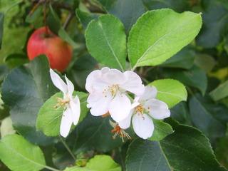 Apfelblüte und Apfel gleichzeitig am Baum  - Apfelbaum, Apfelblüte, Apfelfrucht, Frühling, Herbst, Jahreszeiten, Humor, lustig, unentschieden
