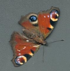 Pfauenauge - Schmetterling, Tagpfauenauge, Pfauenauge, Herbst, Flügel, Schmetterlingsflügel