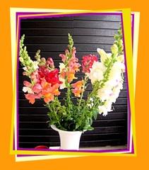 Löwenmäulchen - Löwenmäulchen, Blumen, Blüten, Blumengruß, Geburtstag, email, Gruß, Effektbild, Grußkarte